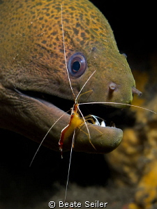 Green moray , taken at Alam Batu Housereef with Canon G12 by Beate Seiler 